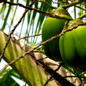 Nuca de cocos, sursă completă de hrană