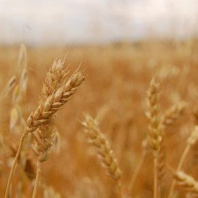 Grâu, probabil cea mai consumată cereală de pe glob