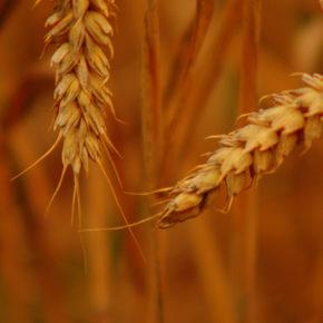 Grâu spelta, rudă neprețuită cu grâul comun