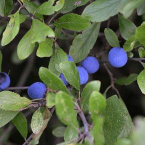 Porumbe, fructe de pădure ce sporesc pofta de mâncare