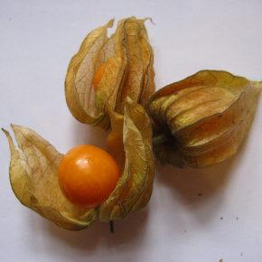 Physalis, fructul gustos și aspectuos