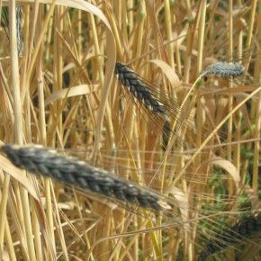 Grâu Kamut, mai nutritiv decât grâul obișnuit
