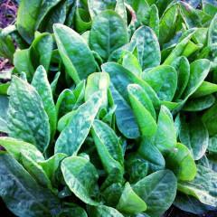 Ștevie – beneficiile unei plante demodate