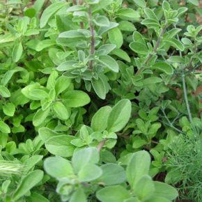 Măghiran – o rudă mai delicată pentru oregano