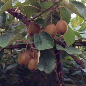 7 lucruri interesante despre kiwi