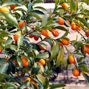 Kumquat, cel mai mic membru al familiei citricelor